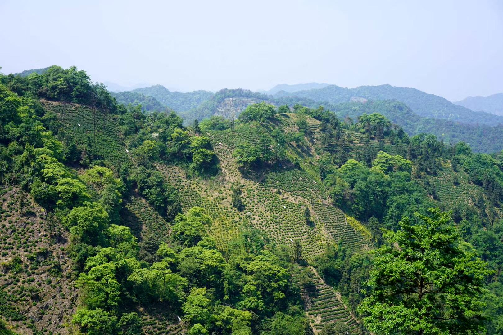 漫无边际的植被是好茶的必要条件